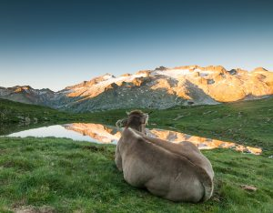 vaca contemplando pico Aneto