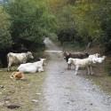 vacas en el valle de Estós