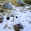 Orix pisando nieve en Pllan d'Estan